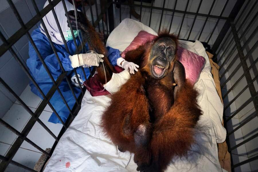 Primate en danger
