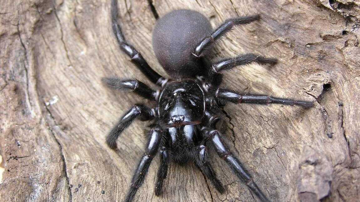 En Australie, des spécialistes alertent contre la prolifération d'araignées dangereuses