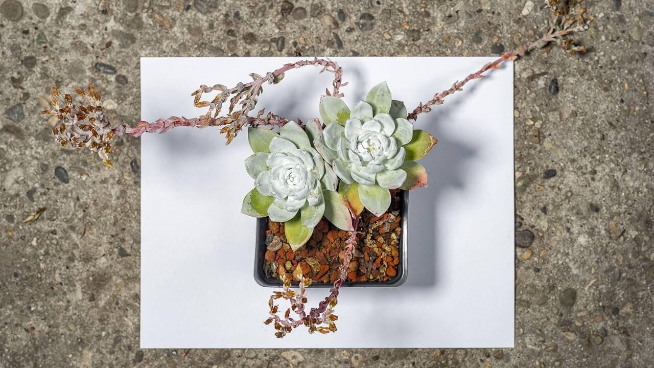 """En Californie, l'étonnant trafic de la Dudleya farinosa, la """"plante Instagram"""""""