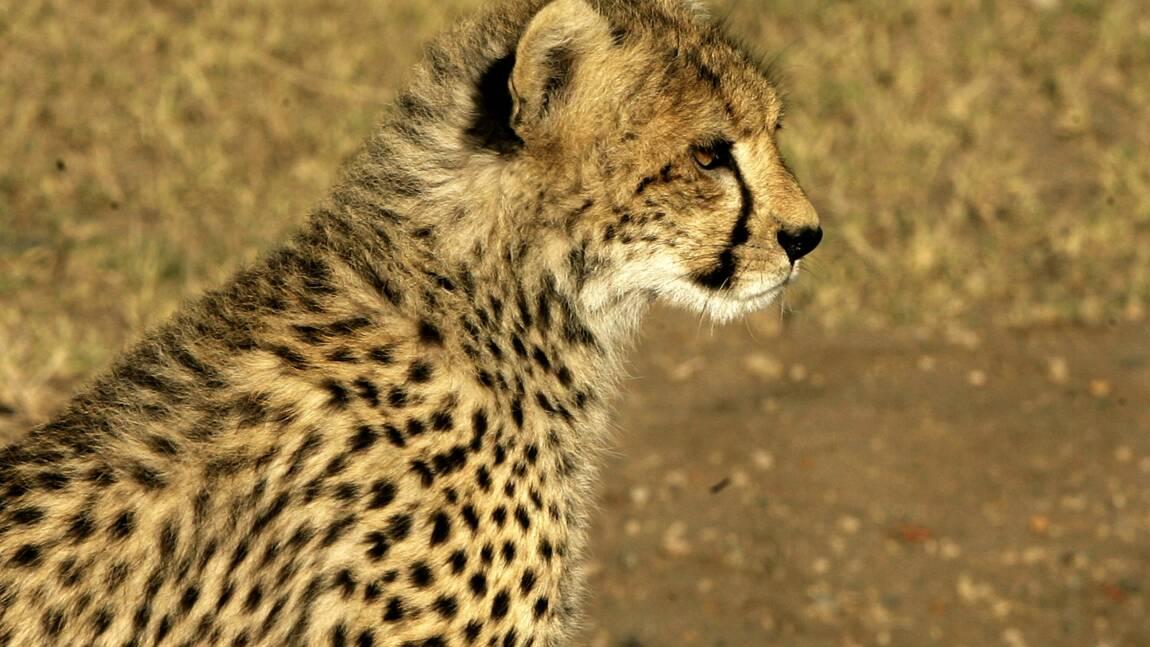 Inde : la Cour suprême approuve la réintroduction de guépards