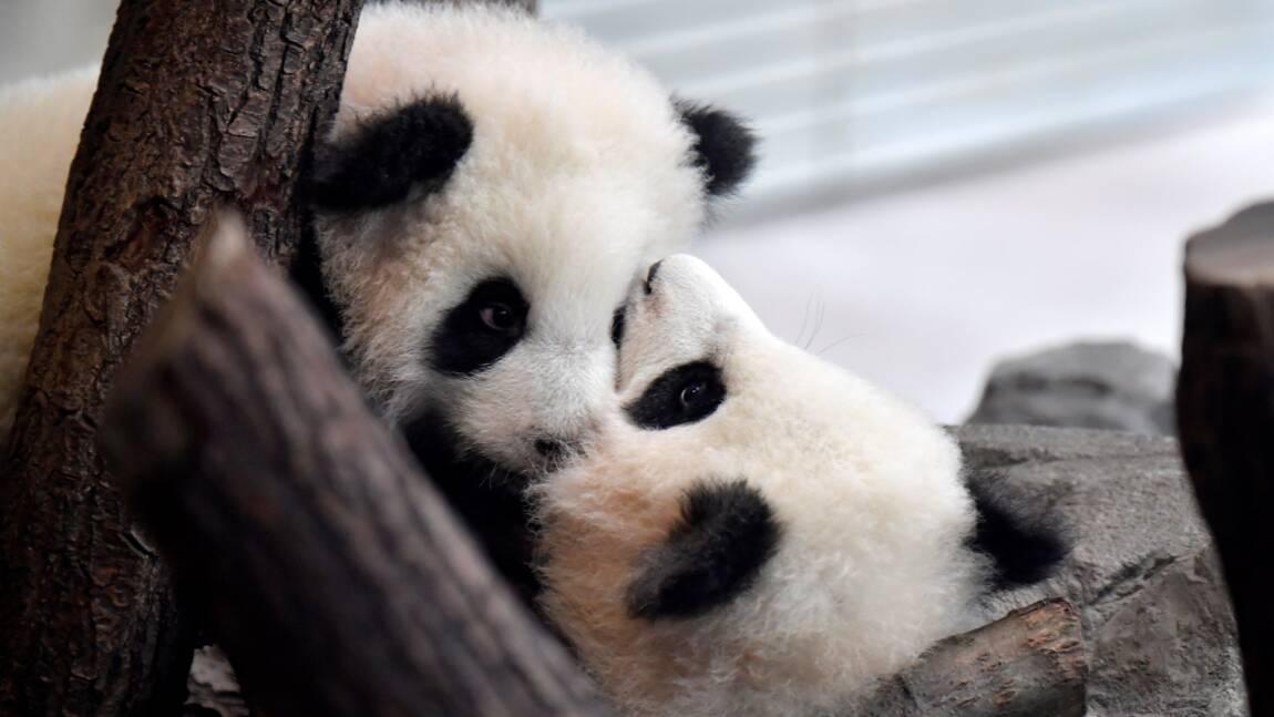 Des bébés pandas nés au zoo de Berlin présentés au public