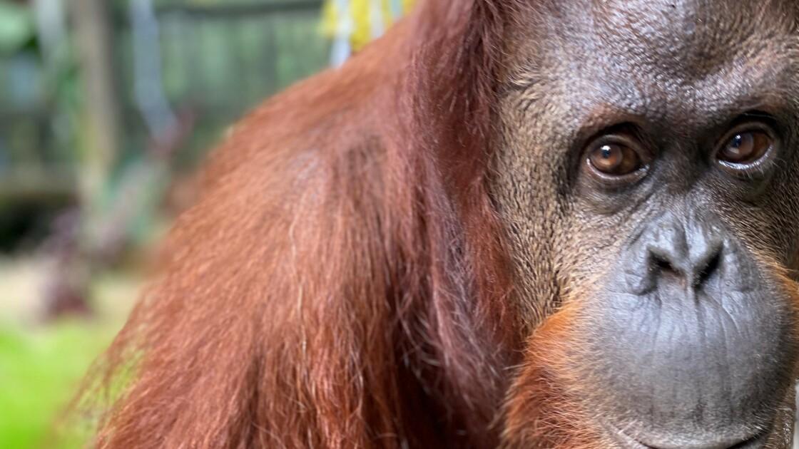 Anciennes stars de cinéma, de grands singes passent leur retraite en Floride