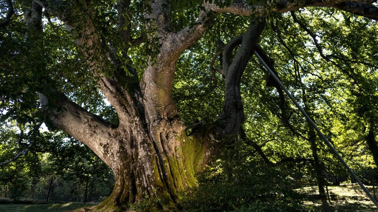 Votez pour élire l'arbre européen de l'année 2020