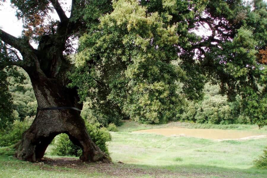 Espagne : le chêne aux trois pieds