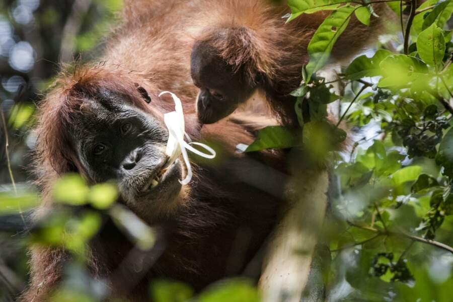 Les orangs-outans apprennent de façon «sociale», par imitation