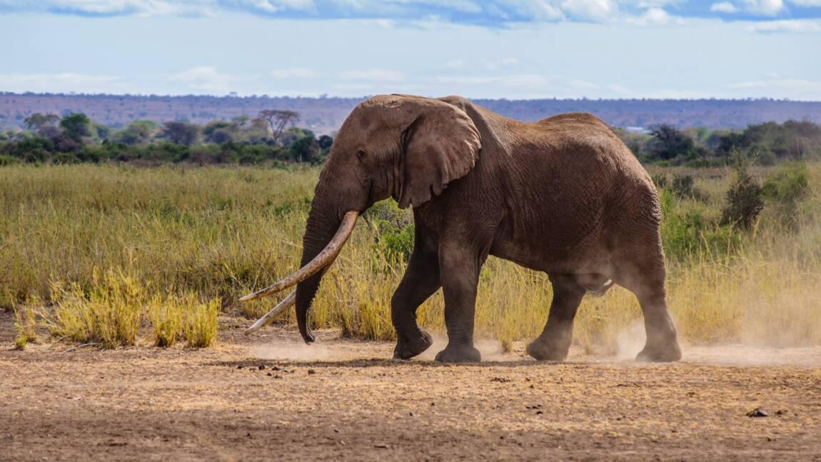 Kenya: mort de Tim, l'un des derniers éléphants aux défenses géantes