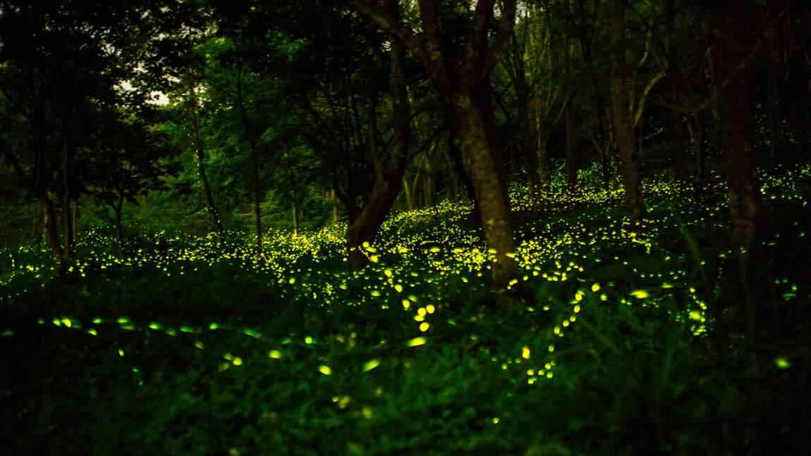 Les lucioles menacées de s'éteindre à cause des activités humaines