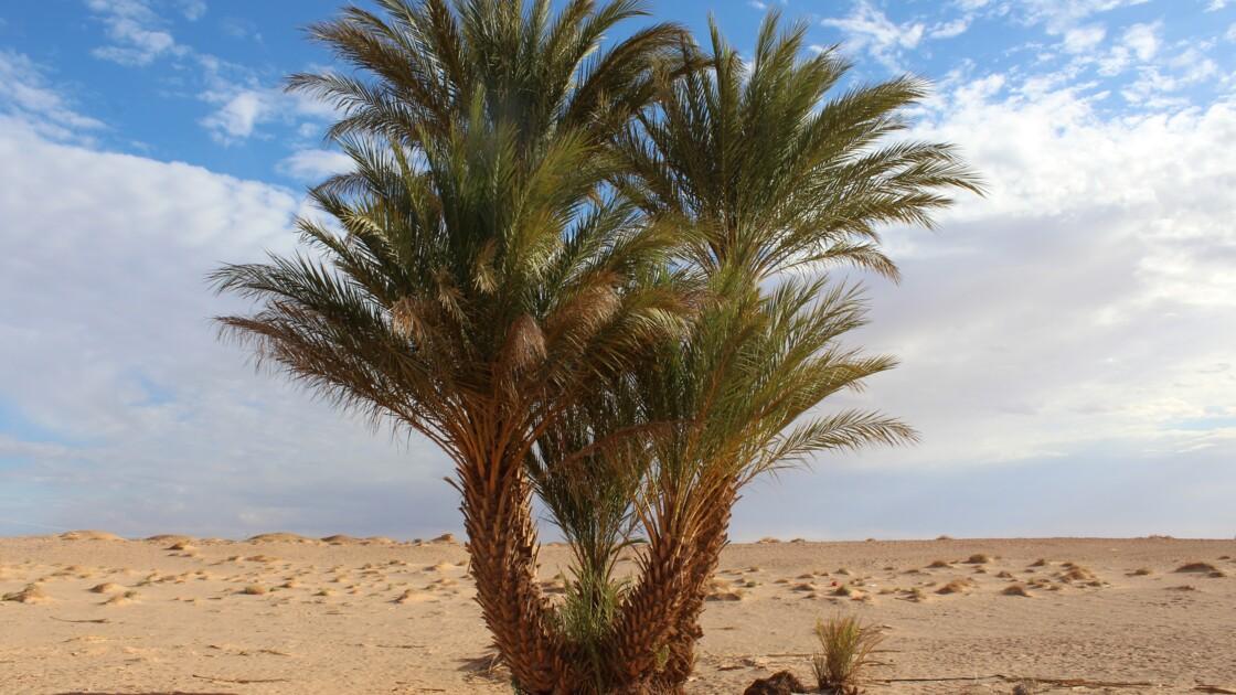 Des scientifiques ont fait pousser des dattiers à partir de graines vieilles de 2000 ans