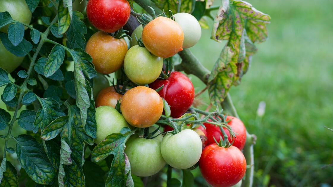 Danger pour les producteurs de tomates: virus confirmé dans le Finistère