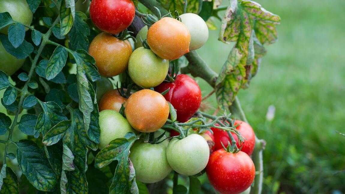 """Virus de la tomate: """"surveillance renforcée"""" du ministère de l'Agriculture"""
