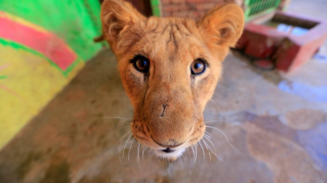Dans le Yémen en guerre, les animaux des zoos luttent aussi pour survivre