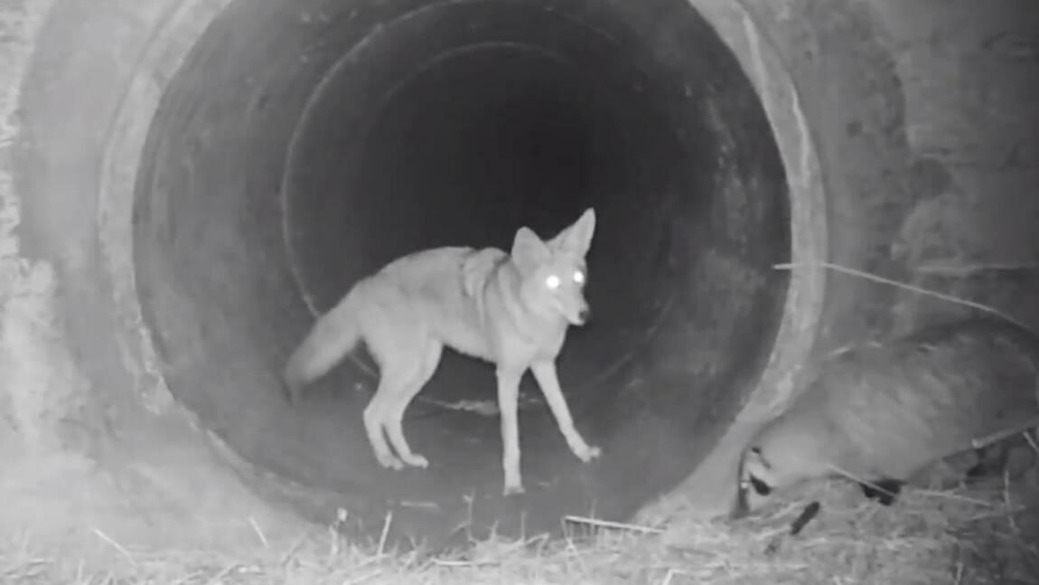 """Une caméra immortalise l'étonnante """"amitié"""" entre un coyote et un blaireau en Californie"""