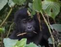 Ouganda: quatre gorilles tués par la foudre