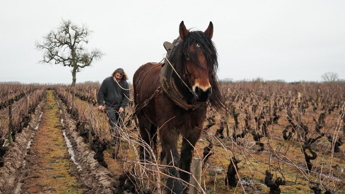 Les chevaux et les moutons dans la vigne pour soulager les sols