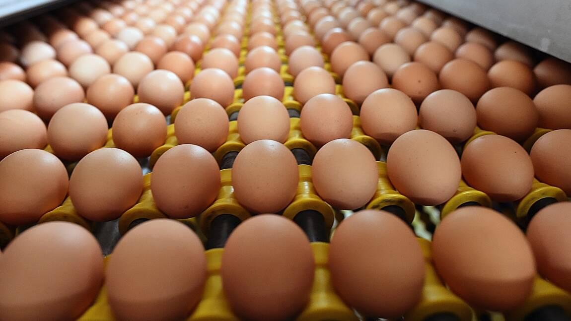 Partenariat Carrefour-Loué pour éviter l'abattage des poussins mâles