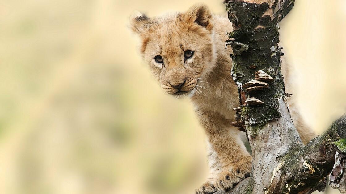 Lions, rhinocéros... Quatre espèces phares qui ne déclinent plus en Tanzanie