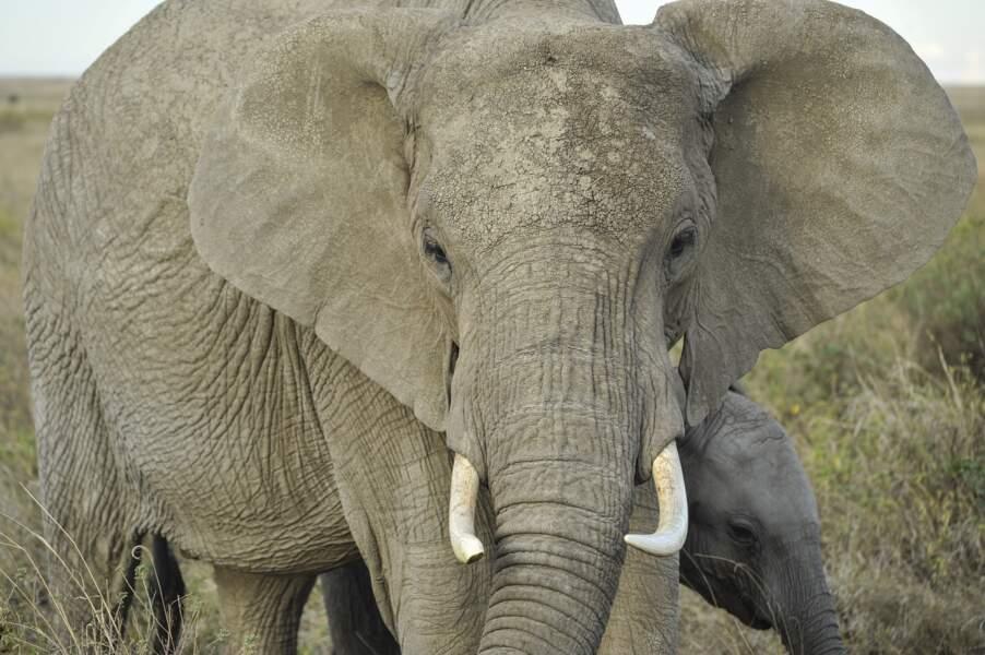 L'imposant éléphant