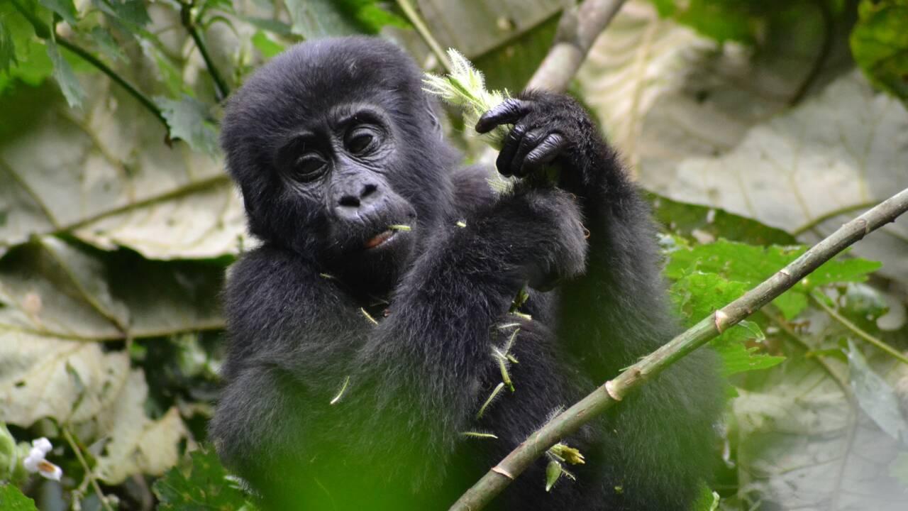 Ouganda : la proximité entre touristes et gorilles des montagnes menace la santé des grands singes