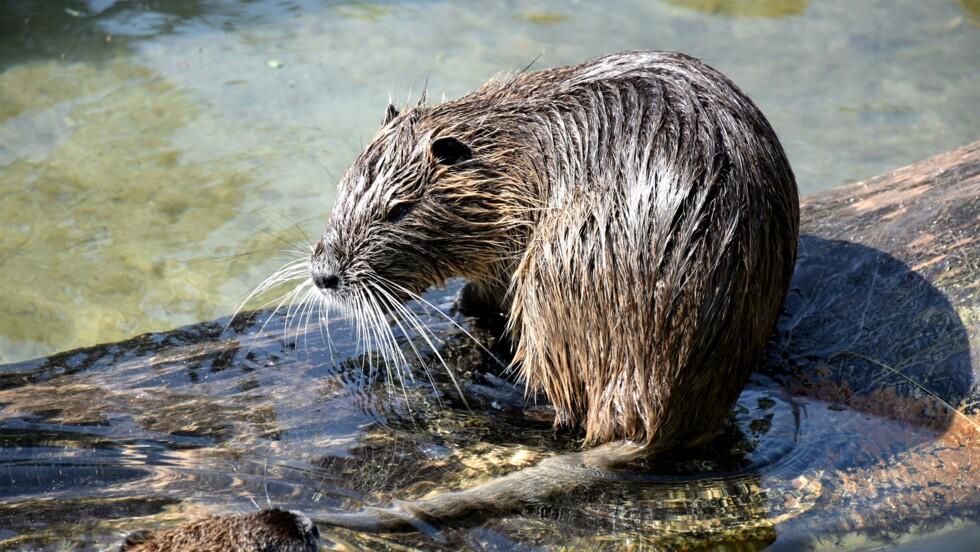 Une nouvelle étude montre comment le castor protège des inondations et redonne vie à certaines espèces