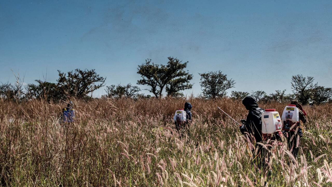 L'armée ougandaise à l'assaut des criquets ravageurs