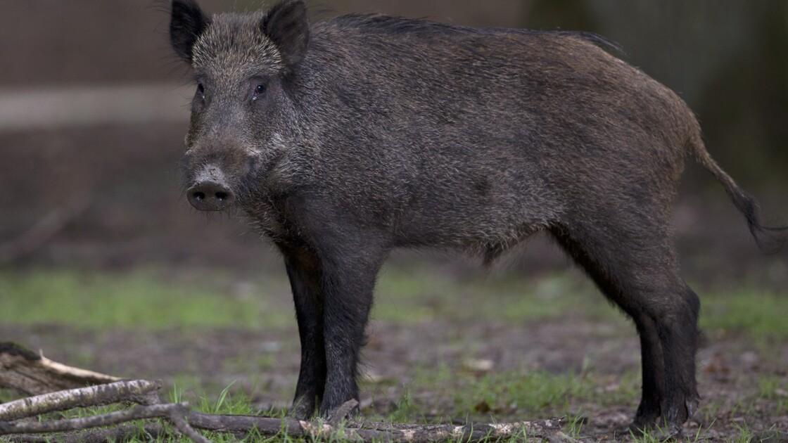 Projet de simplification pour chasser sangliers et chevreuils l'été