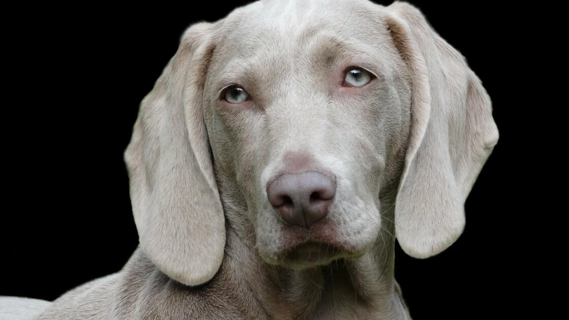 Au Salon de l'Agriculture, on peut aussi admirer des chiens
