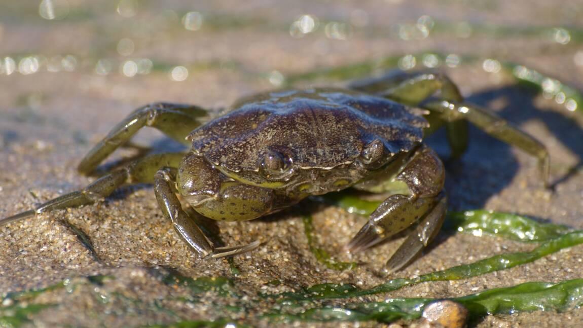 Au Canada, une espèce invasive de crabe bientôt changée en plastique biodégradable ?