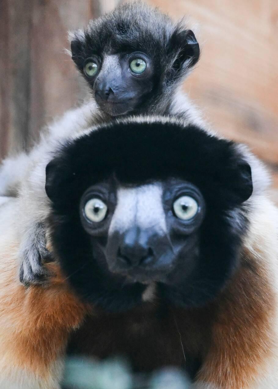 Naissance rare d'un bébé lémurien au zoo de Besançon