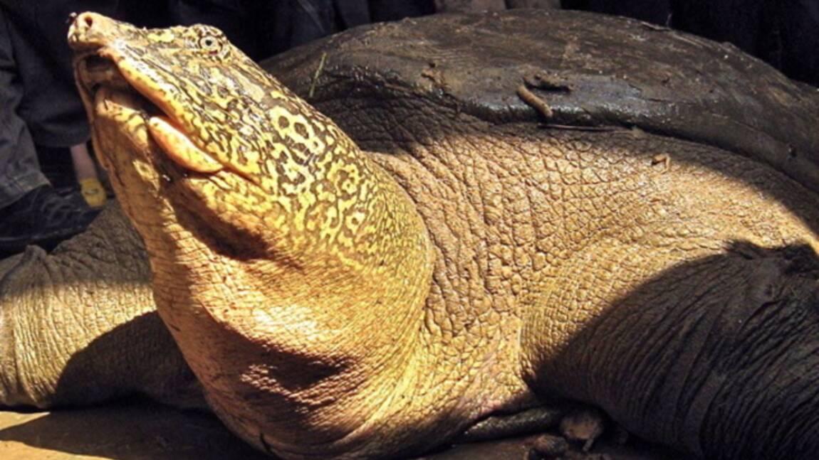 Au Vietnam, un nouvel espoir pour les tortues géantes à carapace molle du Yangzi ?