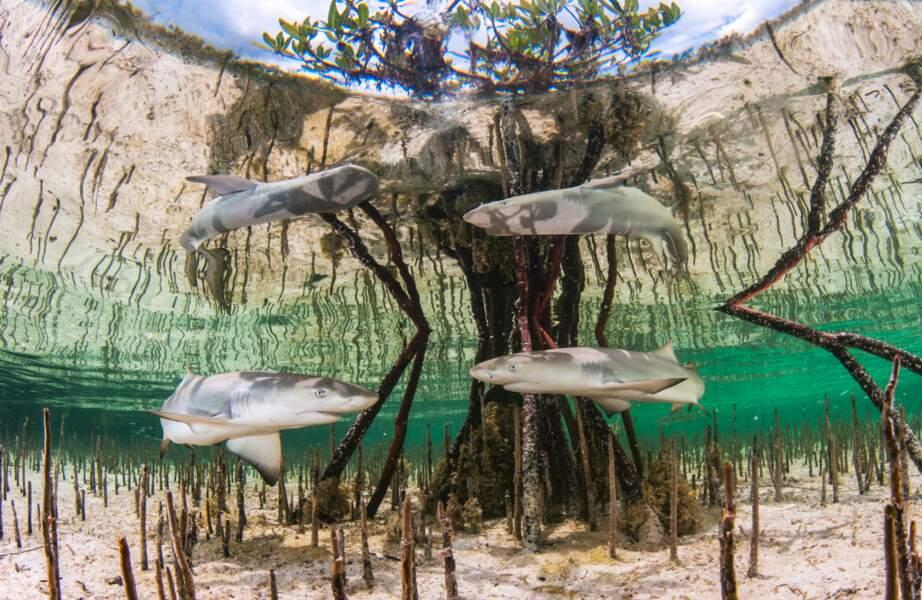 Pouponnière de requins-citrons