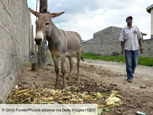Le Kenya interdit l'abattage des ânes menacés par la demande chinoise