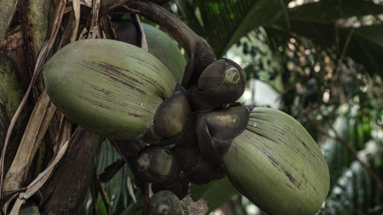 """Aux Seychelles, les secrets du """"coco fesse"""", un trésor national bien protégé"""