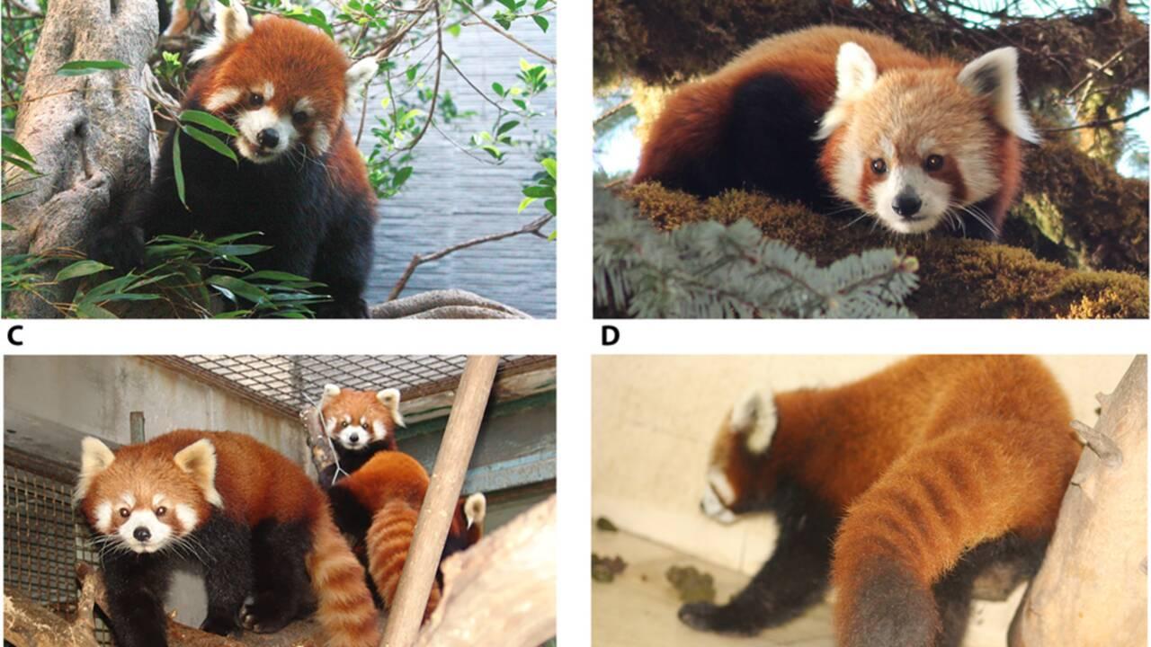 Le panda roux ne formerait pas une mais deux espèces, d'après son génome