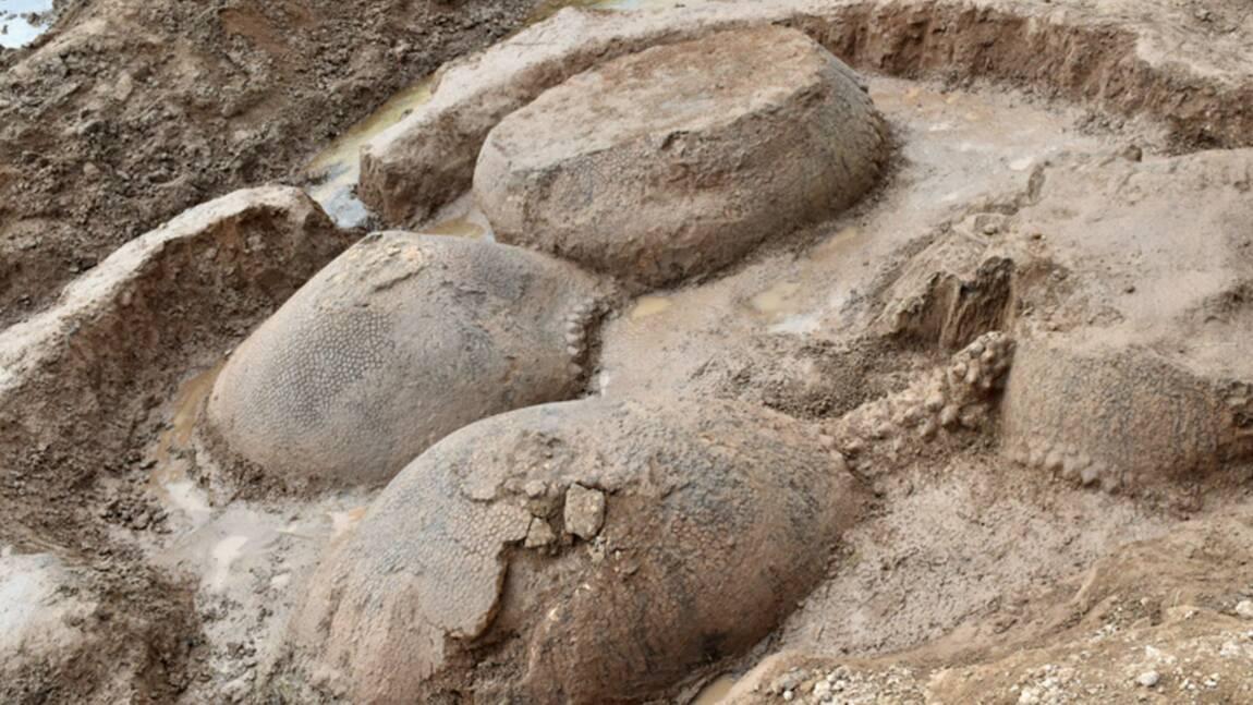 Des fossiles de tatous géants vieux de 20000 ans mis au jour en Argentine