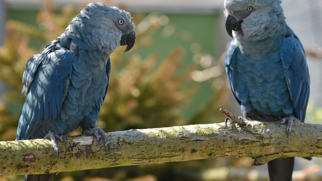 Des perroquets bleus menacés d'extinction rapatriés au Brésil