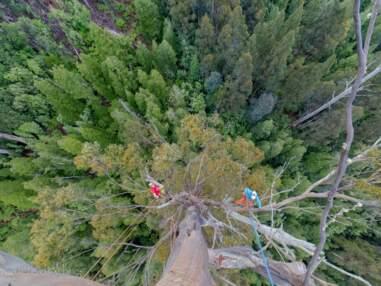 Ils escaladent les arbres les plus hauts du monde