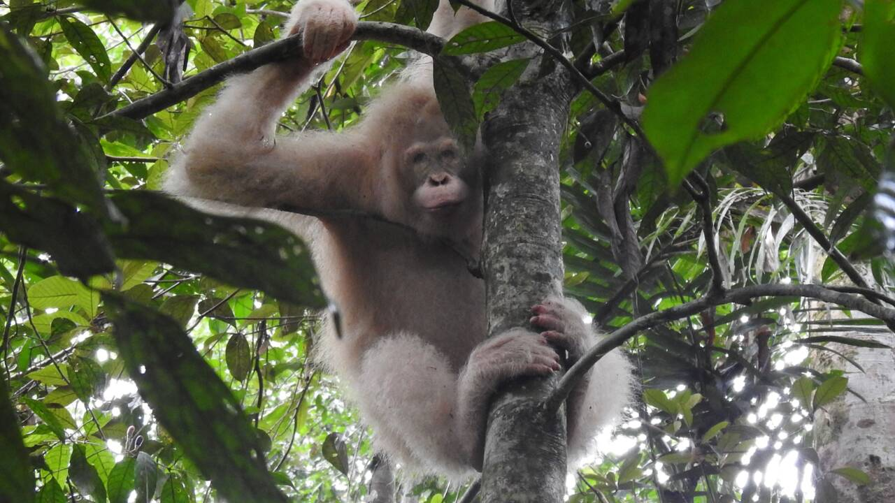 Le seul orang-outan albinos connu observé dans la forêt de Bornéo