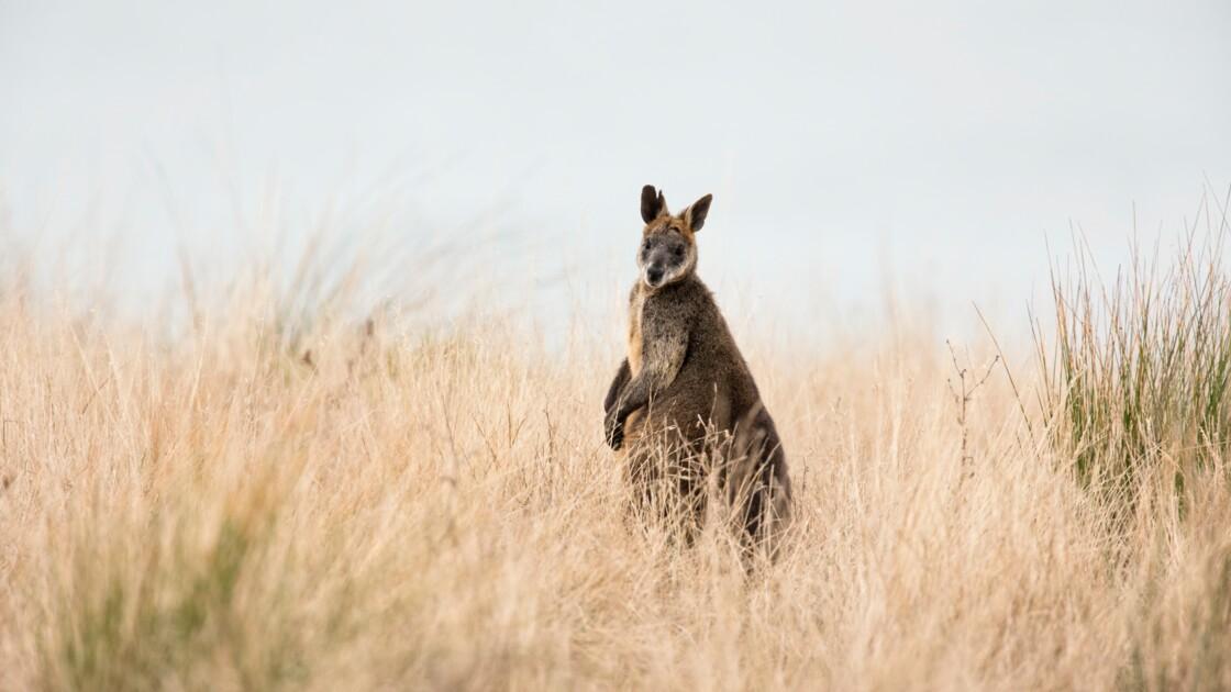 Avec ses deux utérus, la femelle wallaby bicolore est perpétuellement enceinte