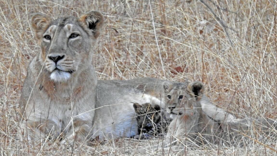 Quand une lionne adopte un bébé léopard dans un parc national en Inde