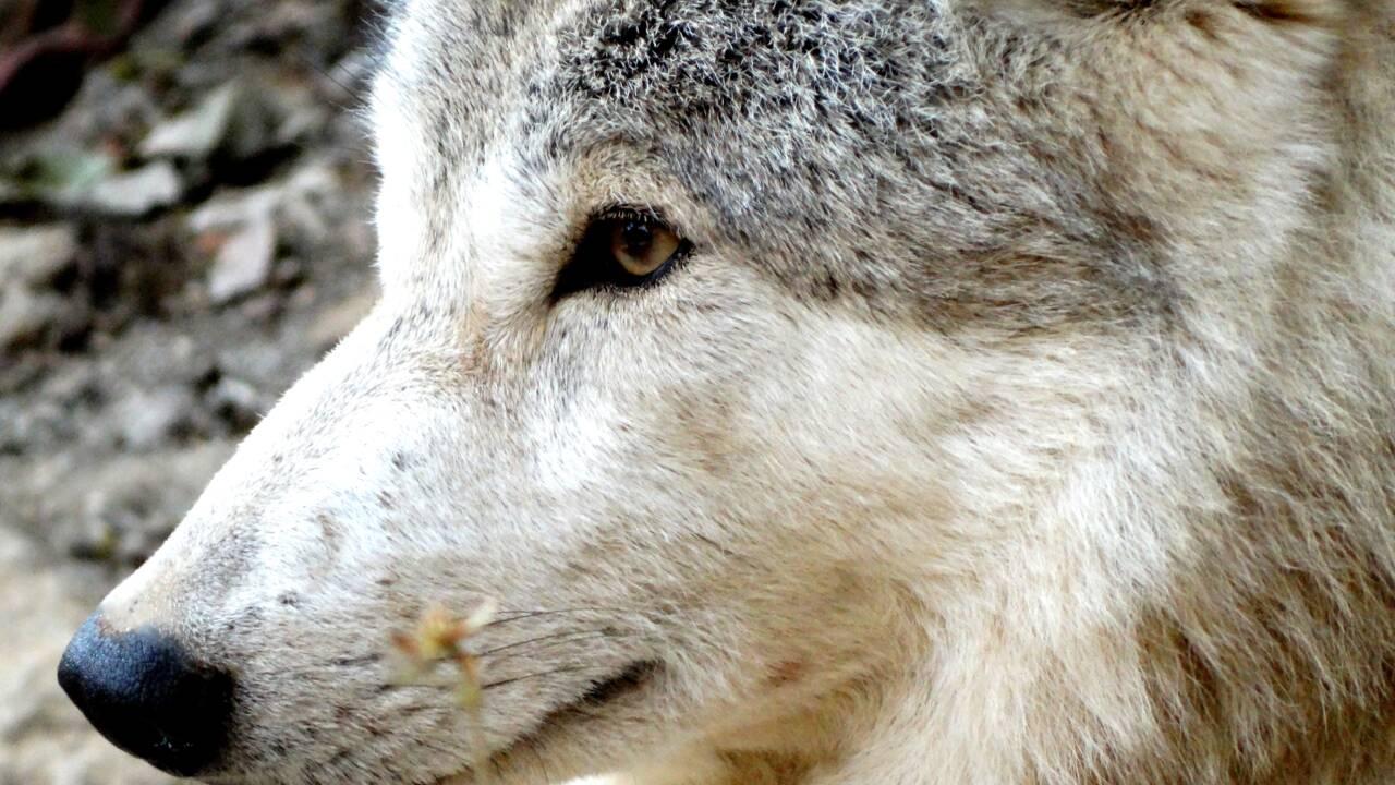 Le loup de l'Himalaya, une espèce distincte génétiquement adaptée à la vie en altitude ?