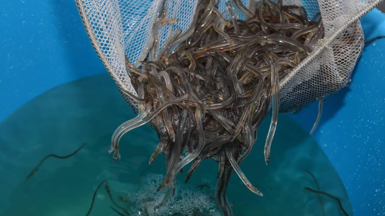 Des anguilles en danger critique d'extinction découvertes dans les supermarchés de Hong Kong