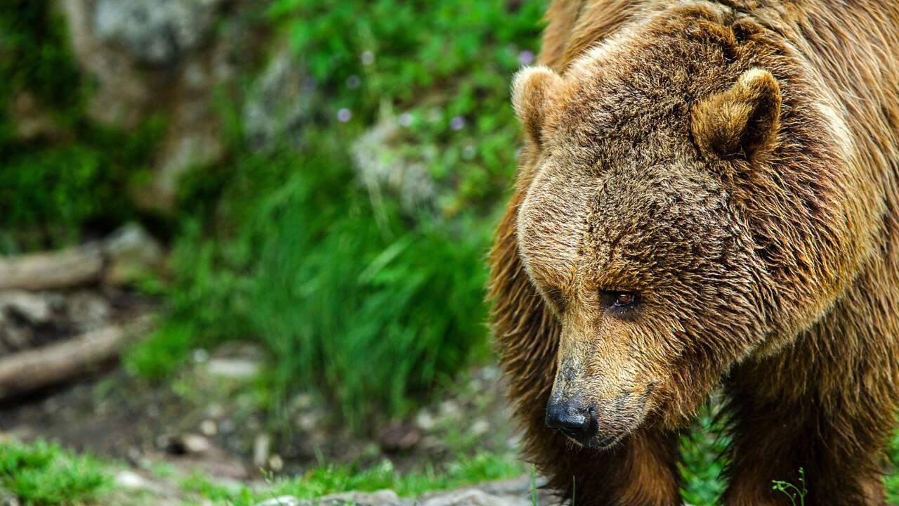 A cause de la douceur de l'hiver, les ours sortent d'hibernation plus tôt que prévu