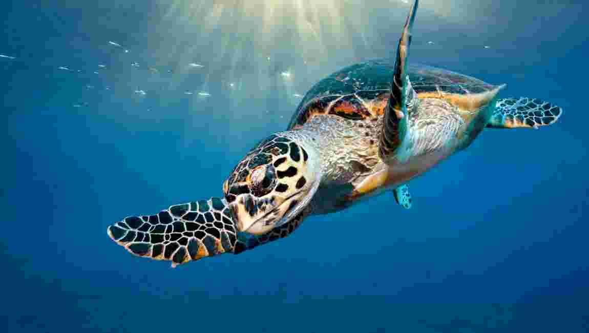 Une tortue relâchée d'un aquarium réalise un périple de 37000 km jusqu'en Australie