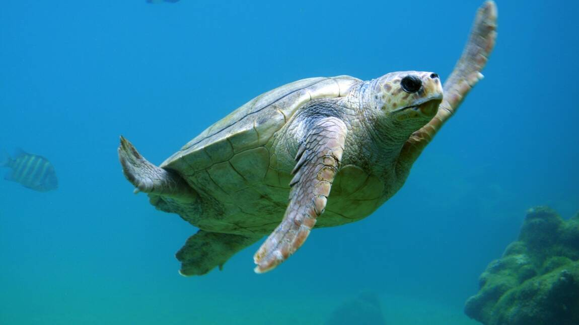 Les tortues marines mangent du plastique car elles sont attirées par son odeur
