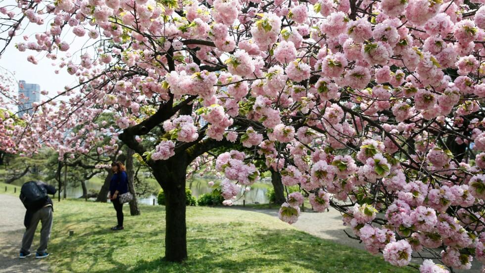 Avec l'arrivée du printemps, les cerisiers commencent à fleurir à travers le monde