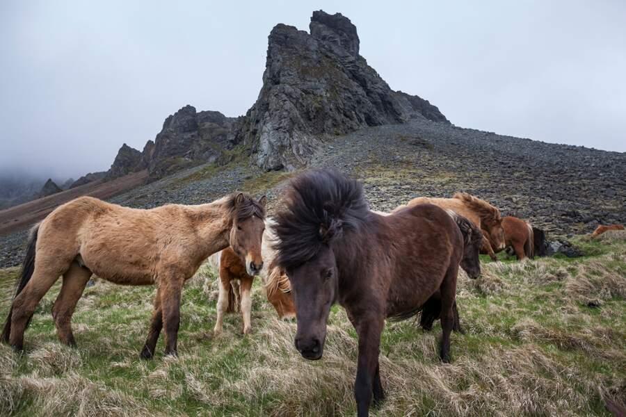 Petits chevaux : l'élevage est la principale source de gaz à effet de serre de l'agriculture en Islande