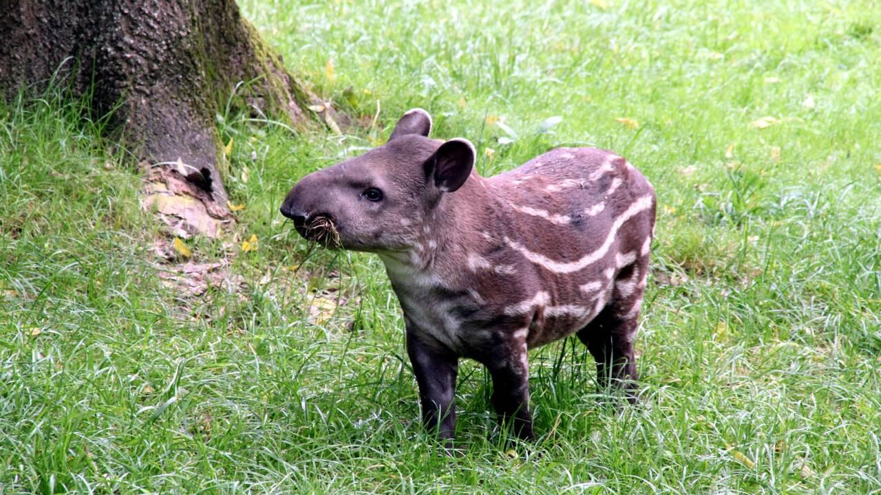 Brésil : la naissance d'un tapir sauvage donne de l'espoir pour la survie de l'espèce