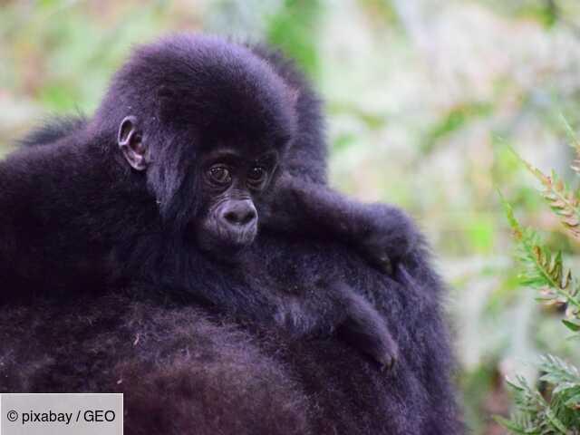 Les gorilles menacés par le coronavirus ?
