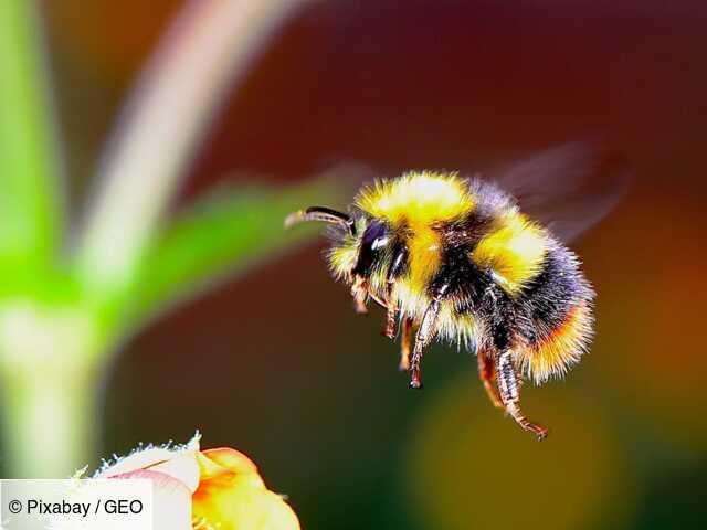 Confiné avec un jardin ? Aidez les chercheurs à étudier les insectes pollinisateurs