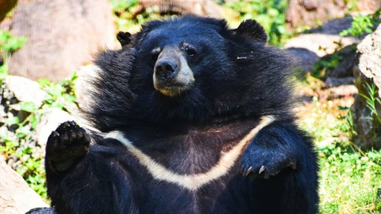 Contre le coronavirus, la Chine recommande un traitement à base de bile d'ours